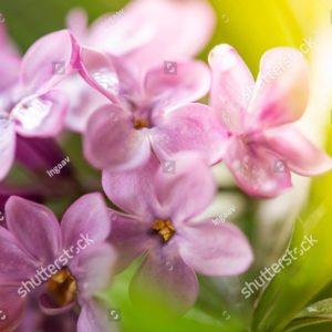 фиолетовая сирень