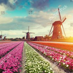stock-photo-landscape-with-tulips-traditional-dutch-windmills-and-houses-near-the-canal-in-zaanse-schans-716078419